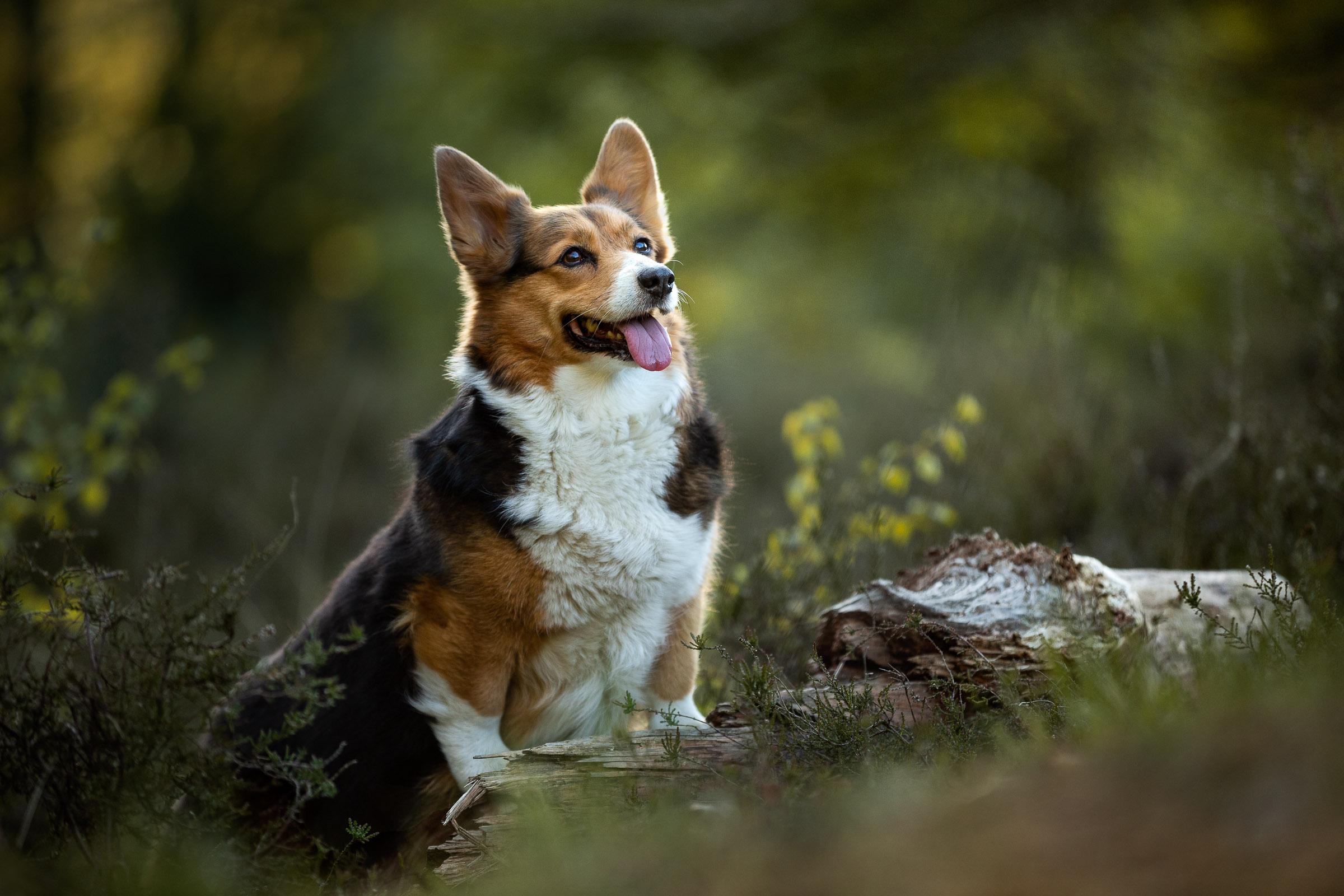 Corgi poseert mooi op een boomstammetje tijdens masterclass hondenfotografie