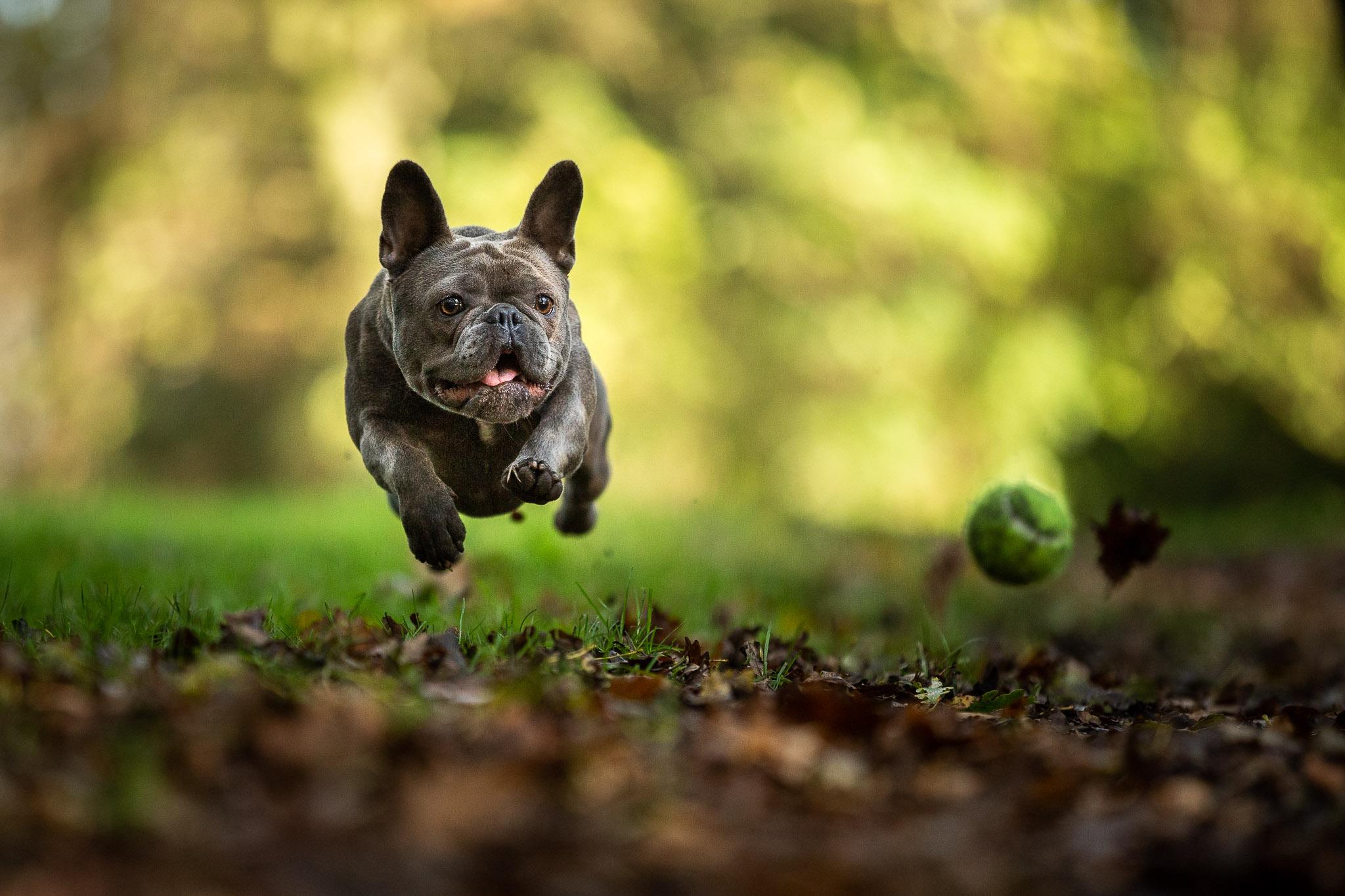 Franse bull lijkt te vliegen zo hard rent zij achter de bal aan
