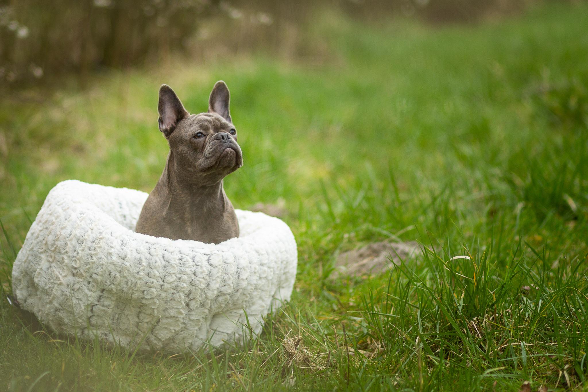 Franse bull pup in haar hondenmand tijdens de tweede fotoshoot van haar puppy abonnement