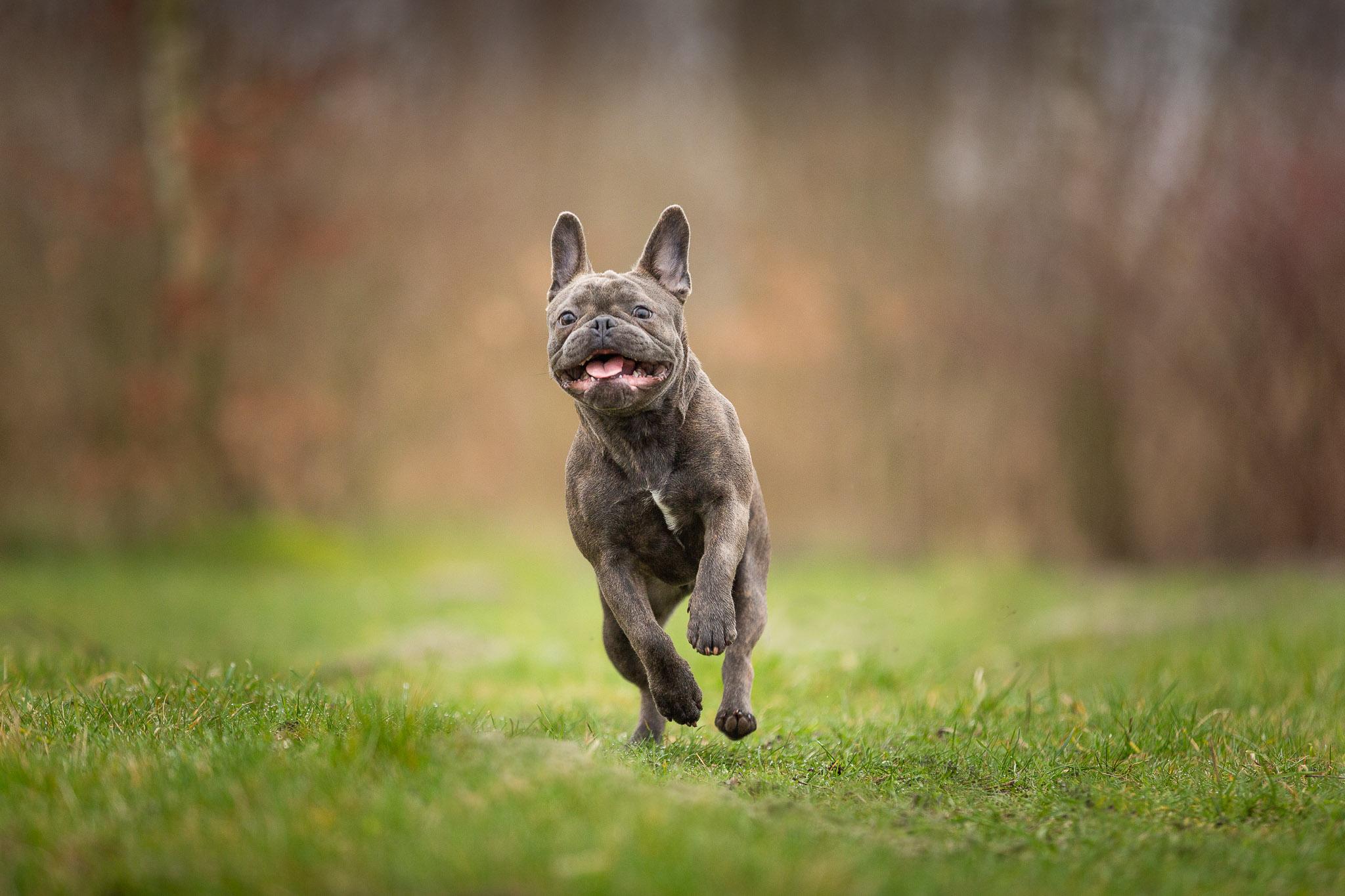 Franse bull pup rent met een hele blije kop