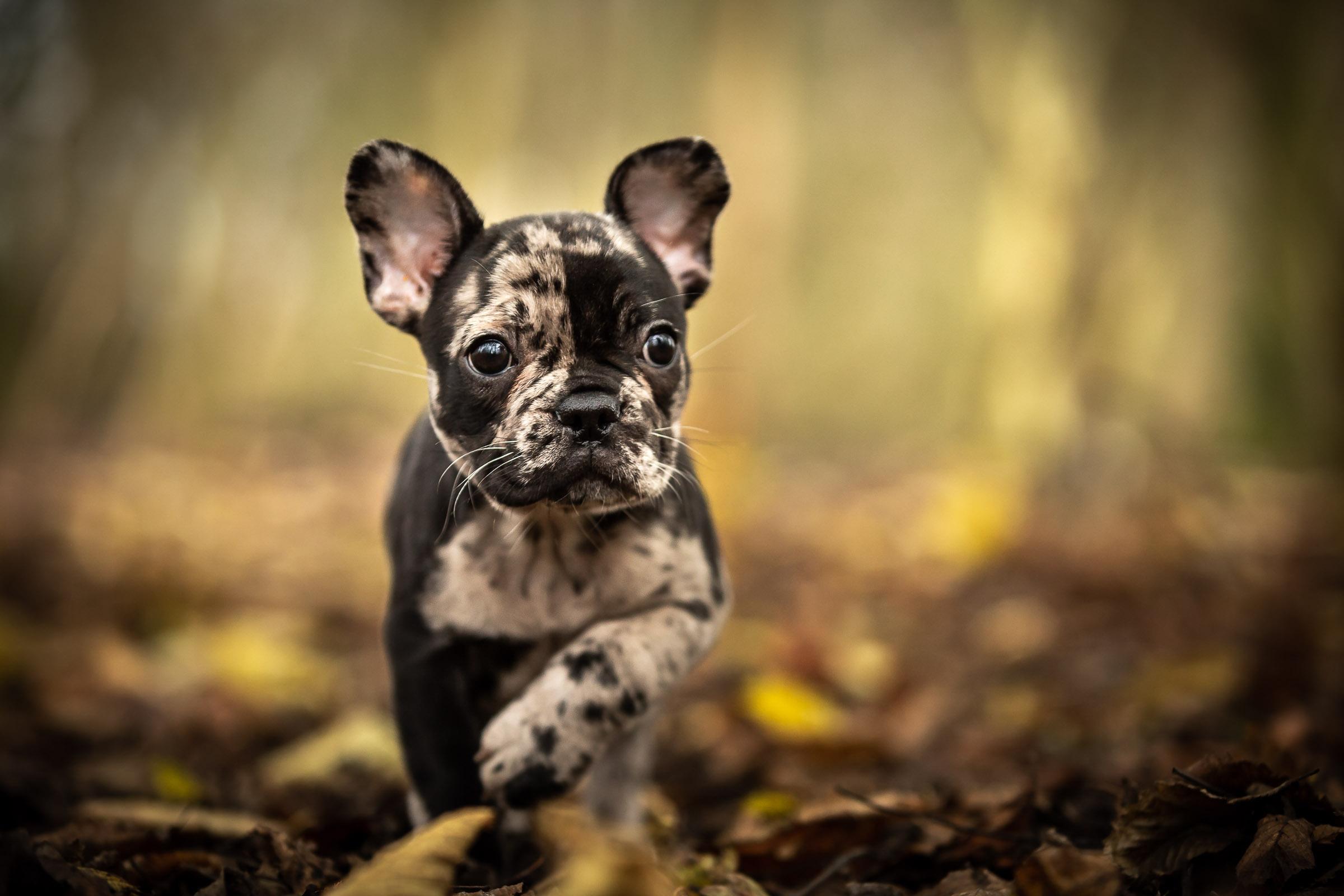 Franse bulldog puppy loopt tussen de herfstbladeren in het bos tijdens zijn eerste fotoshoot in noord holland
