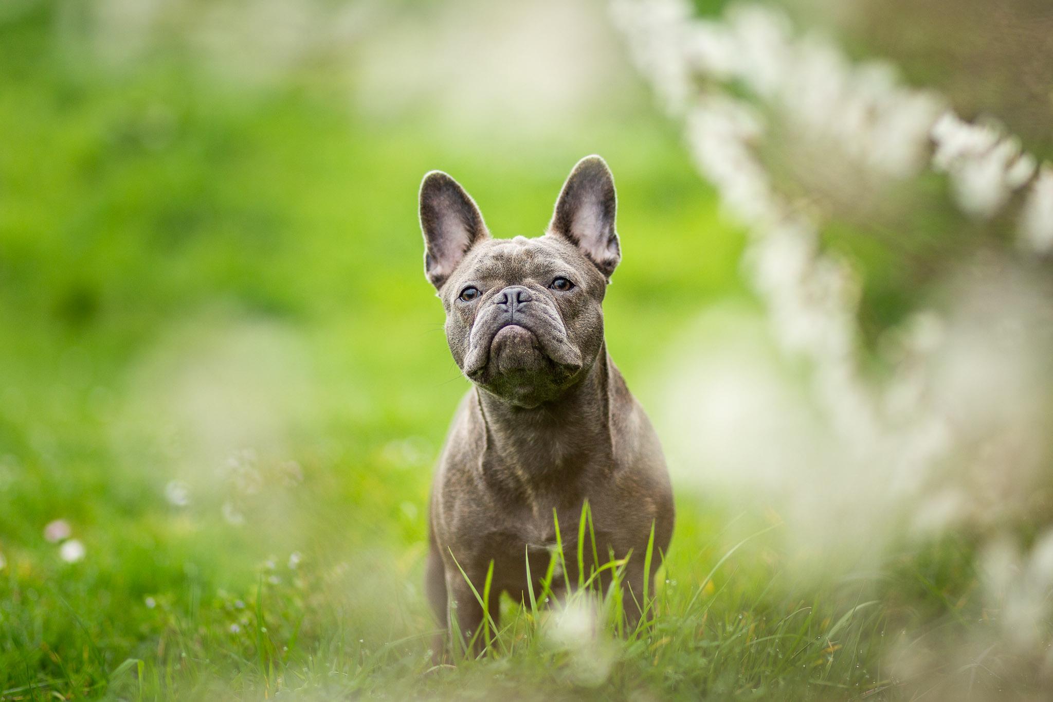 Franse bulldog puppy tussen de lichte lente kleuren in het voorjaar