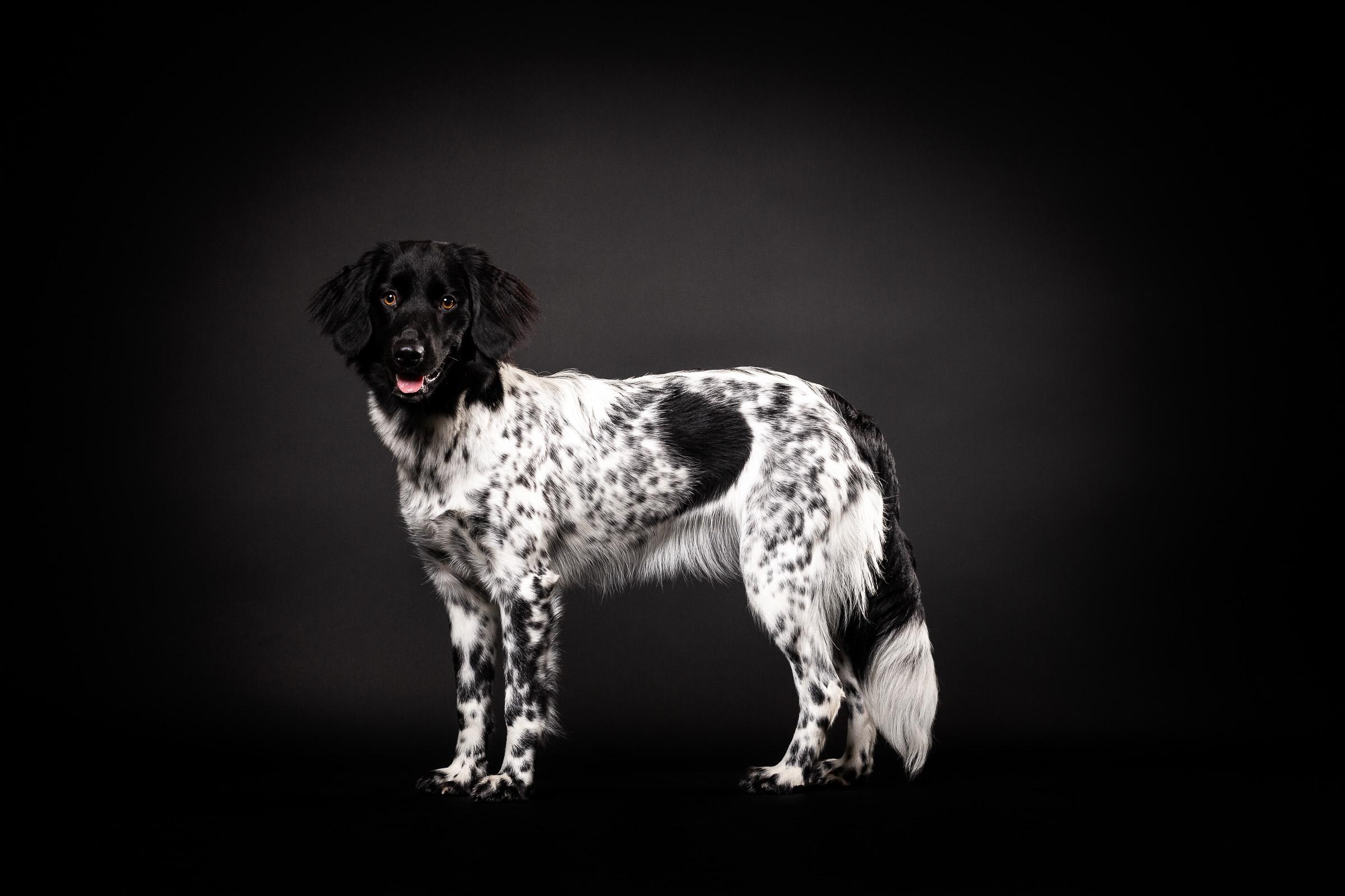 Friese Stabij staat heel mooi te poseren in de fotostudio bij de hondenfotograaf