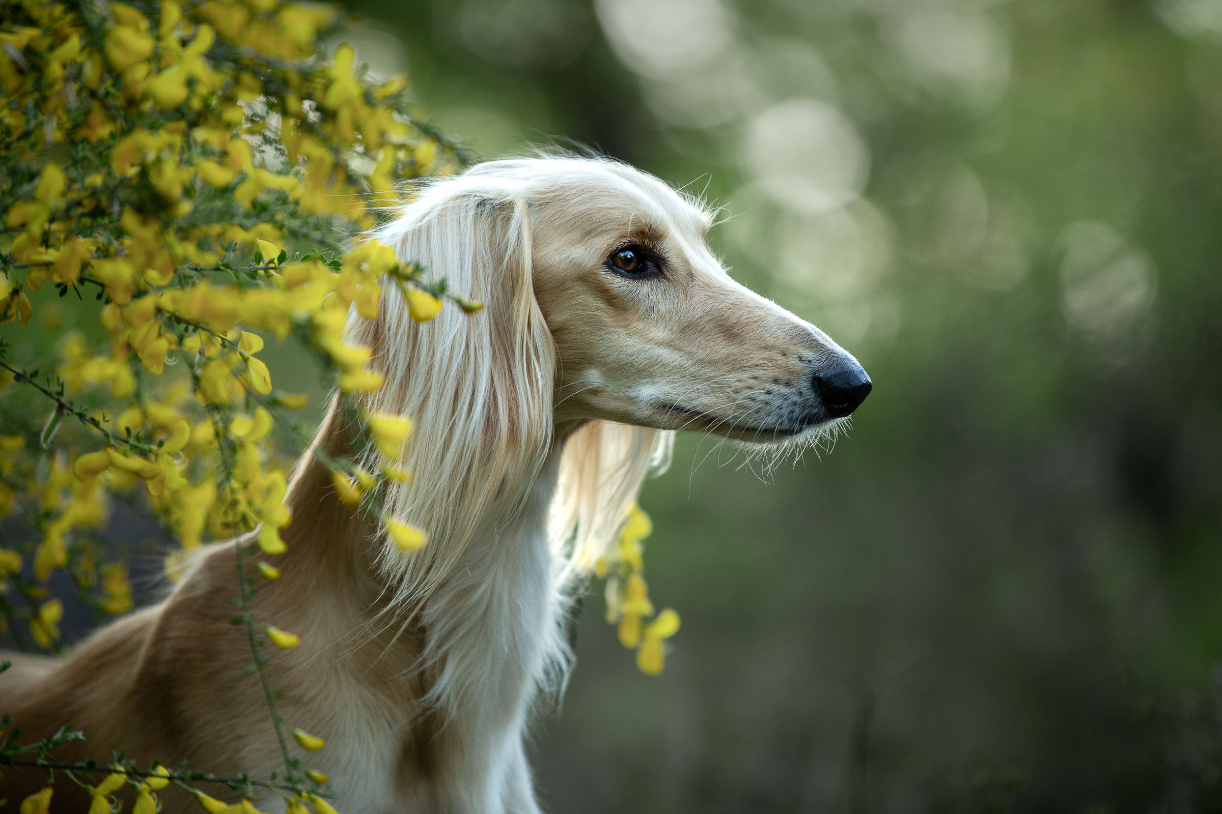 Hondenportret van Saluki tijdens masterclass hondenfotografie