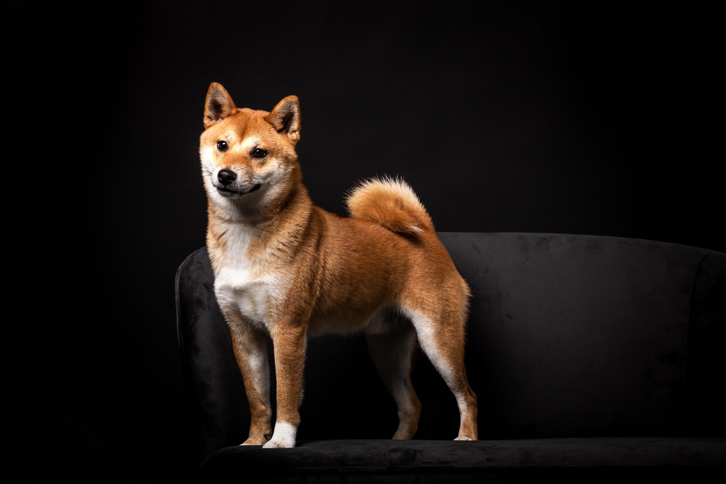 Shiba Inu Benji staat mooi te poseren bij de hondenfotograaf in de studio