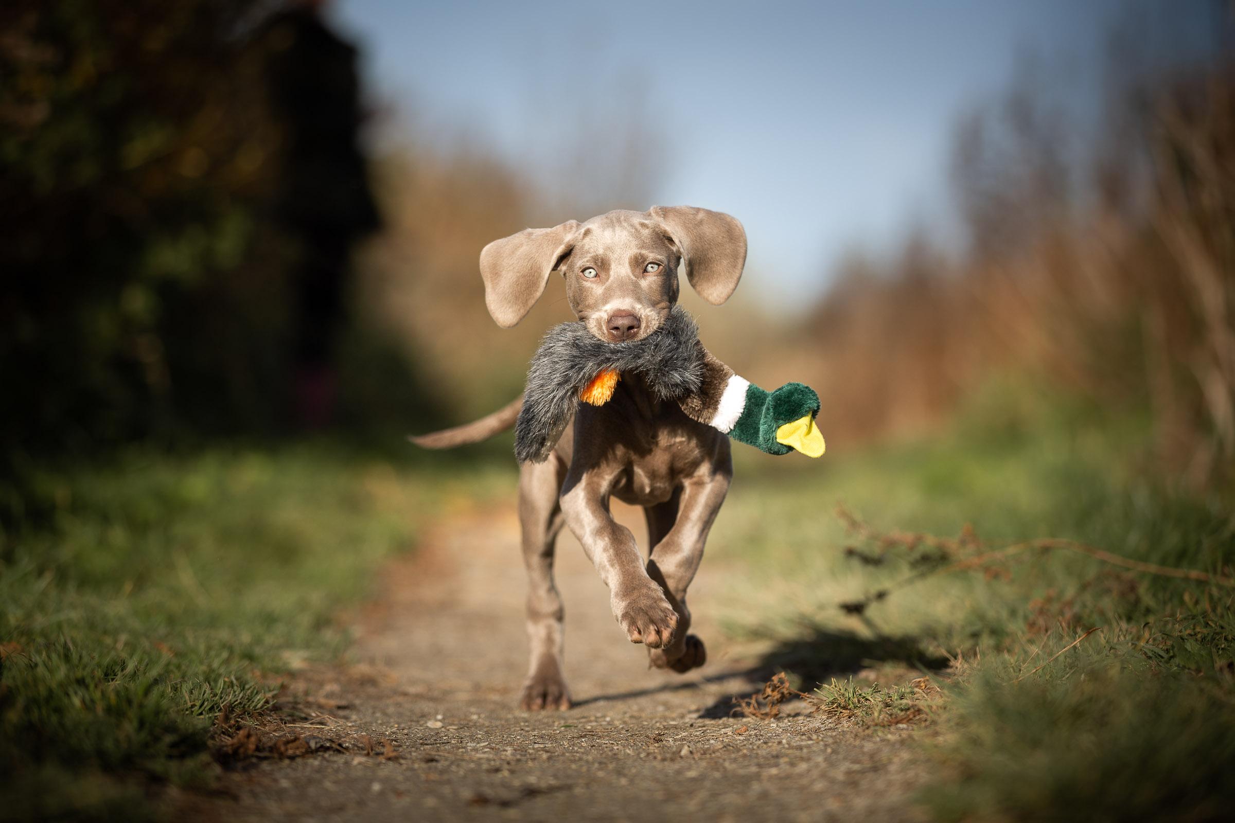 Weimaraner pup rent met haar eend in haar bek tijdens de fotoshoot van haar puppy abonnement