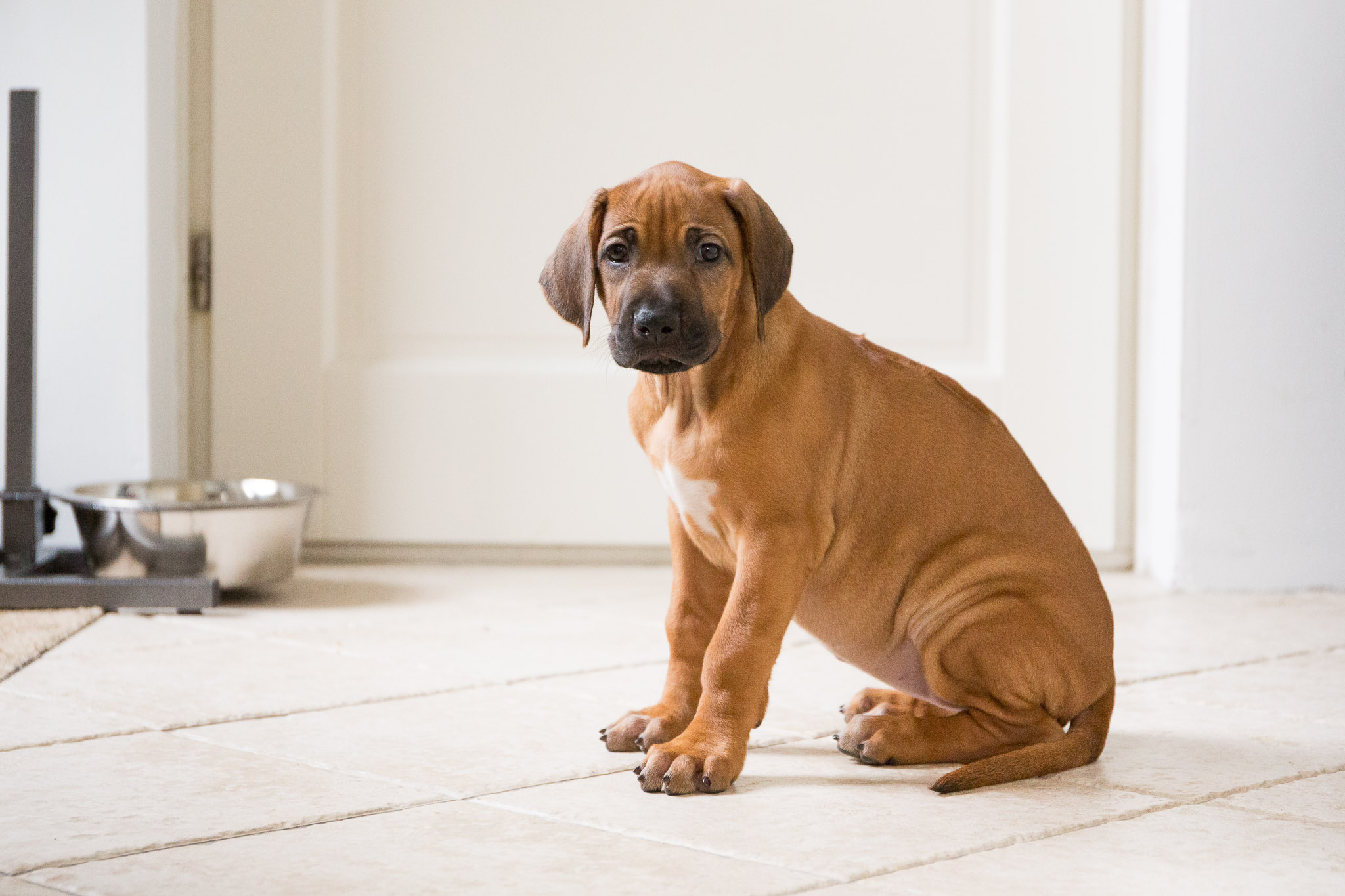 Rhodesian Ridgeback puppy van 8 weken oud