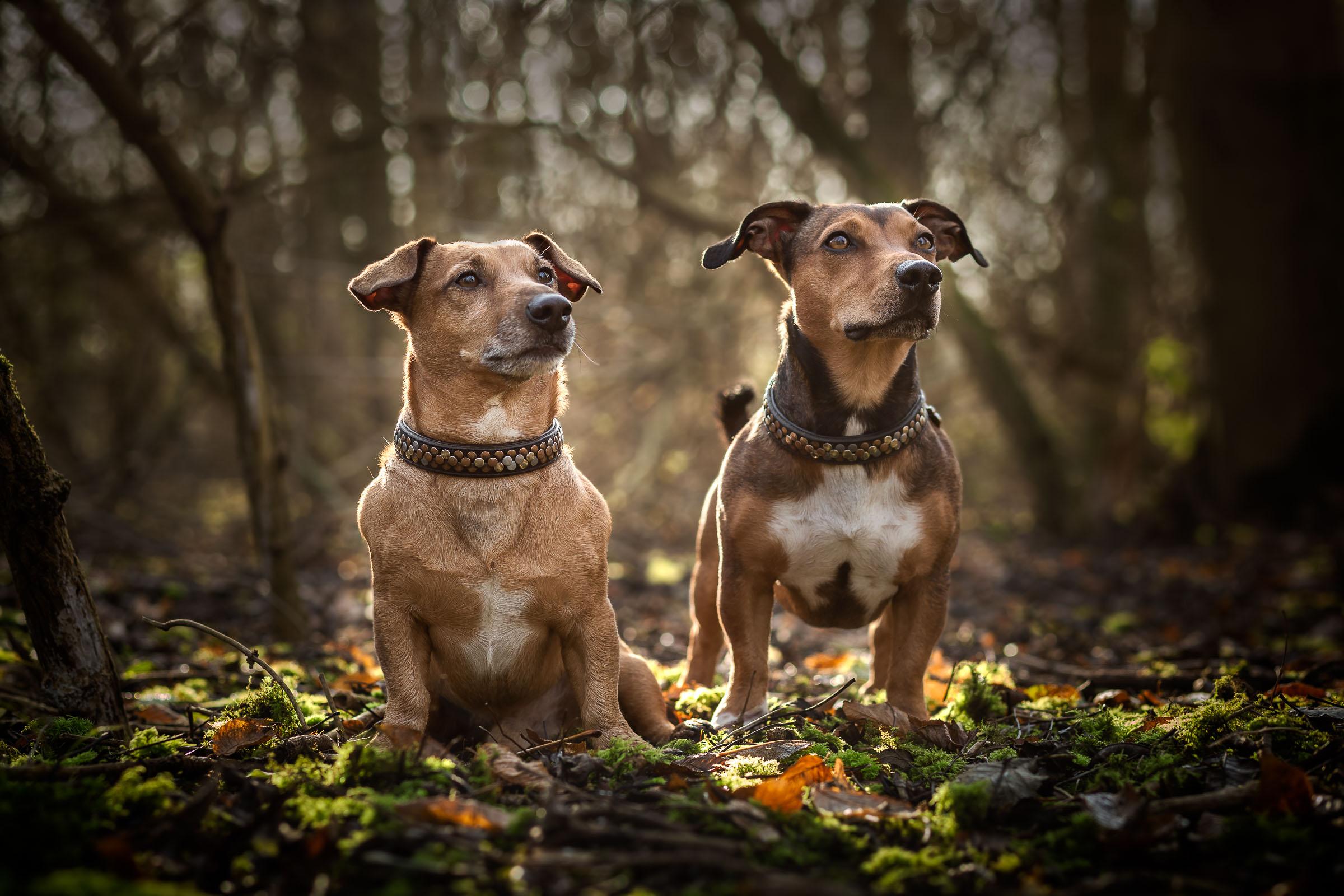 Twee Jack Russel hondjes poseren tijdens een fotoshoot in het bos