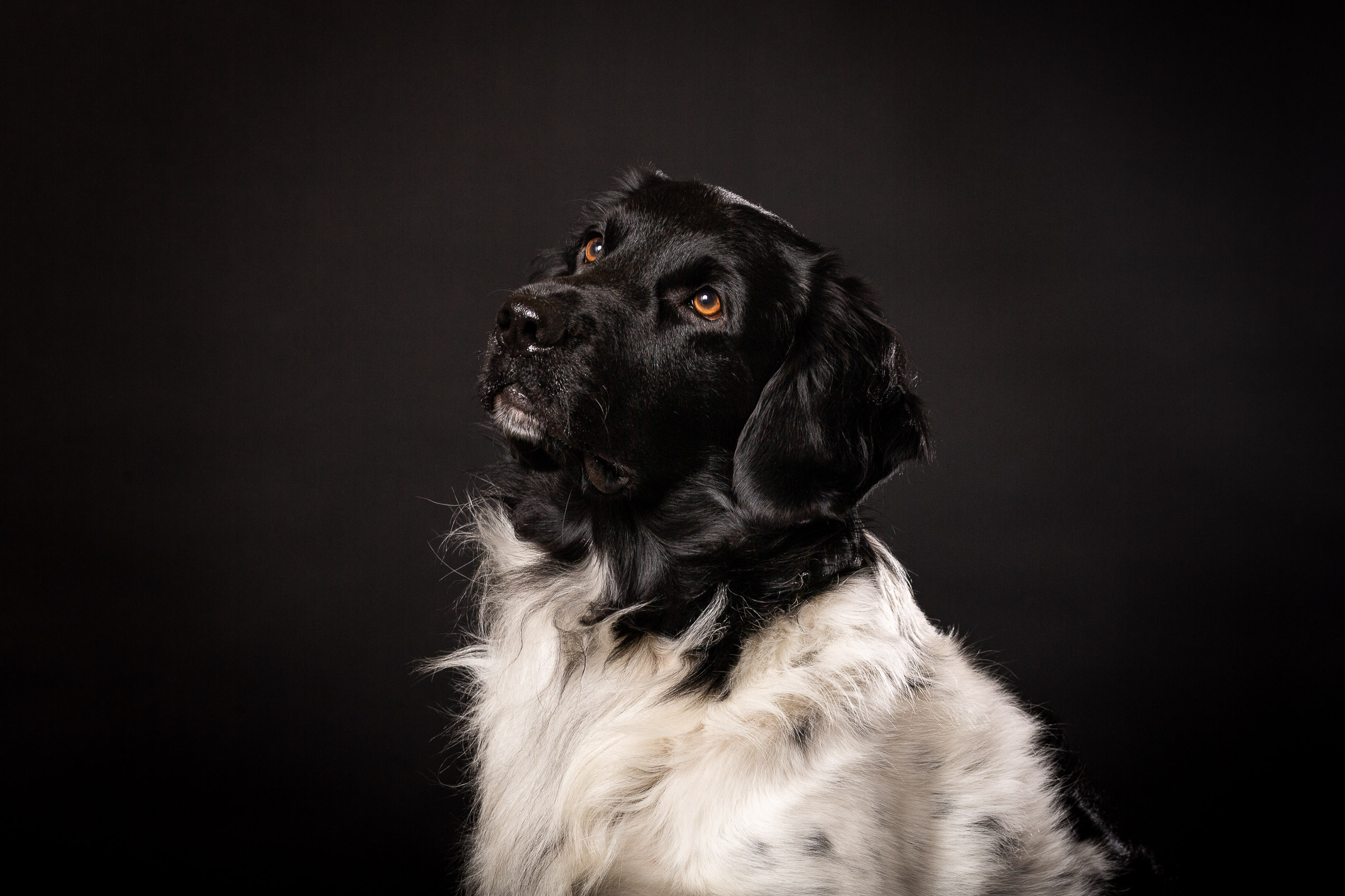 Friese Stabijhoun Boike portretfoto van zijn kop